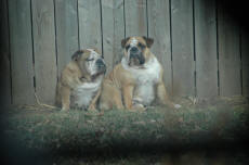 Annie And Ruby Our Bulldogs